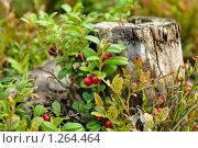 Купить «Ягоды брусники на пеньке», фото № 1264464, снято 4 сентября 2009 г. (c) Кекяляйнен Андрей / Фотобанк Лори