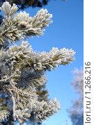 Заснеженная ветка сосны на фоне голубого неба. Стоковое фото, фотограф Икан Леонид / Фотобанк Лори