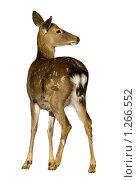 Купить «Олень пятнистый, Sika Deer, Cervus nippon», фото № 1266552, снято 24 сентября 2008 г. (c) Василий Вишневский / Фотобанк Лори