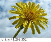 Купить «Одуванчик», эксклюзивное фото № 1268352, снято 20 мая 2009 г. (c) lana1501 / Фотобанк Лори