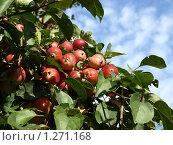Яблоки на фоне неба. Стоковое фото, фотограф Базанова Маргарита / Фотобанк Лори