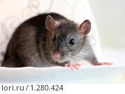 Купить «Крыса», фото № 1280424, снято 10 сентября 2009 г. (c) Яна Королёва / Фотобанк Лори