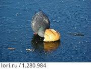Купить «Голубь клюет хлеб на льду», эксклюзивное фото № 1280984, снято 5 ноября 2009 г. (c) lana1501 / Фотобанк Лори