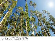 Купить «Эвкалиптовая роща на фоне синего неба», фото № 1282876, снято 15 сентября 2009 г. (c) Дмитрий Яковлев / Фотобанк Лори