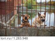 Купить «Две собаки лают из-за забора», фото № 1283948, снято 10 октября 2009 г. (c) Филонова Ольга / Фотобанк Лори