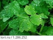 Капли воды на зеленных листках. Стоковое фото, фотограф Марина Рябущиц / Фотобанк Лори