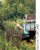 Индюк на заборе. Стоковое фото, фотограф Кирюшина Евгения / Фотобанк Лори