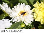 Пчела на цветке георгина. Стоковое фото, фотограф Дмитрий Сушкин / Фотобанк Лори