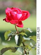 Роза. Стоковое фото, фотограф Дмитрий Сушкин / Фотобанк Лори