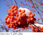 Купить «Рябина под снегом», фото № 1291292, снято 25 ноября 2009 г. (c) Юлия Мальцева / Фотобанк Лори