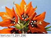 """Купить «Рябчик императорский Fritillaria imperialis  (""""Слезы Марии"""")», фото № 1291296, снято 10 мая 2008 г. (c) Анастасия Петрова / Фотобанк Лори"""