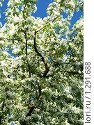 Цветущая яблоня весной на фоне голубого неба. Стоковое фото, фотограф Rumo / Фотобанк Лори