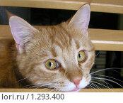 Рыжий кот. Стоковое фото, фотограф Жанна Яцук / Фотобанк Лори