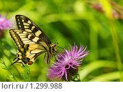 Купить «Махаон на цветах василька лугового», фото № 1299988, снято 16 сентября 2019 г. (c) Александр Савушкин / Фотобанк Лори