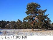 Купить «Зима. Сосновый бор», фото № 1303160, снято 18 декабря 2009 г. (c) Яна Королёва / Фотобанк Лори
