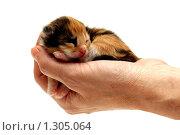 Купить «Трехцветный котенок в руке. Два дня со дня рождения», фото № 1305064, снято 23 ноября 2009 г. (c) Евгений Дубинчук / Фотобанк Лори