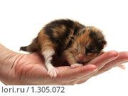 Купить «Трехцветный котенок в руке», фото № 1305072, снято 23 ноября 2009 г. (c) Евгений Дубинчук / Фотобанк Лори