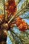 Пальма финиковая, эксклюзивное фото № 1308540, снято 1 октября 2005 г. (c) Александр Алексеев / Фотобанк Лори