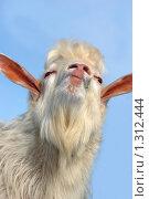 Высокомерный козел. Козёл он и есть козёл. Стоковое фото, фотограф Александр Тараканов / Фотобанк Лори