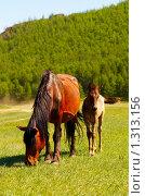 Лошади. Стоковое фото, фотограф Храпова Марина / Фотобанк Лори
