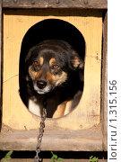 Испуганная собака в будке. Стоковое фото, фотограф Алексей Головин / Фотобанк Лори