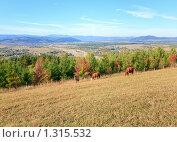 Купить «Коровы на осеннем холме», фото № 1315532, снято 4 октября 2009 г. (c) Юрий Брыкайло / Фотобанк Лори