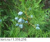 Купить «Плоды туи», фото № 1316216, снято 2 июля 2009 г. (c) Татьяна Богатова / Фотобанк Лори