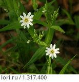Купить «Белые звездочки первых цветов в лесу», фото № 1317400, снято 9 мая 2009 г. (c) Щеголева Ольга / Фотобанк Лори