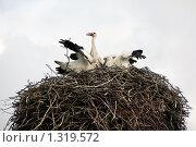Купить «Аисты в гнезде. Семейный обед.», фото № 1319572, снято 27 августа 2008 г. (c) Икан Леонид / Фотобанк Лори