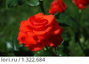 Красная роза. Стоковое фото, фотограф lana1501 / Фотобанк Лори