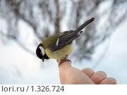Синица на пальце. Стоковое фото, фотограф Сергей Кудряков / Фотобанк Лори