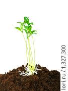 Купить «Зеленые ростки на белом фоне», фото № 1327300, снято 13 марта 2009 г. (c) Elnur / Фотобанк Лори