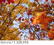 Купить «Ветки с осенними листьями на фоне неба», фото № 1328916, снято 6 октября 2008 г. (c) Наталья Лабуз / Фотобанк Лори