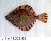 Рыбы Охотского моря: звездчатая камбала. Стоковое фото, фотограф Александр Огурцов / Фотобанк Лори