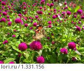 Купить «Коричневая бабочка на лугу лилового клевера», фото № 1331156, снято 23 августа 2009 г. (c) ИВА Афонская / Фотобанк Лори