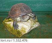 Болотная черепаха. Стоковое фото, фотограф Пётр Ваньков / Фотобанк Лори