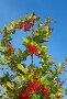 Красные плоды барбариса на ветке на фоне голубого неба, фото № 1333176, снято 11 октября 2009 г. (c) Argument / Фотобанк Лори
