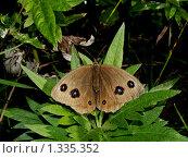 Купить «Бабочки острова Кунашир», фото № 1335352, снято 17 сентября 2019 г. (c) Александр Огурцов / Фотобанк Лори