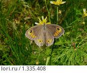 Купить «Бабочки острова Кунашир: воловий глаз», фото № 1335408, снято 17 сентября 2019 г. (c) Александр Огурцов / Фотобанк Лори