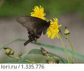 Купить «Бабочки острова Кунашир: махаон Маака», фото № 1335776, снято 17 сентября 2019 г. (c) Александр Огурцов / Фотобанк Лори