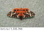 Купить «Бабочки острова Кунашир: красный ленточник», фото № 1335784, снято 17 сентября 2019 г. (c) Александр Огурцов / Фотобанк Лори