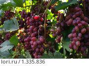 Купить «Виноград сорта Виктория», фото № 1335836, снято 21 августа 2009 г. (c) Евгений Кирюхин / Фотобанк Лори