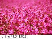 Купить «Поле розовых цветов», фото № 1341828, снято 13 мая 2009 г. (c) Наталия Евмененко / Фотобанк Лори