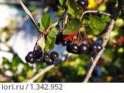 Ветка черноплодной рябины. Стоковое фото, фотограф Александр Завгородний / Фотобанк Лори