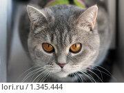 Домашний бенгальский тигр (британская кошка) Стоковое фото, фотограф Анастасия Селивёрстова / Фотобанк Лори