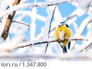 Купить «Лазоревка на фоне заснеженных деревьев», фото № 1347800, снято 3 января 2010 г. (c) Евгений Захаров / Фотобанк Лори