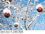 Купить «Зимние яблоки», фото № 1349304, снято 3 января 2010 г. (c) Алексей Калашников / Фотобанк Лори