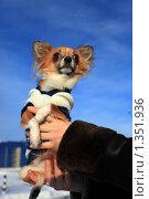 Купить «Маленькая собачка породы чихуахуа на руках на фоне неба», эксклюзивное фото № 1351936, снято 1 января 2010 г. (c) Яна Королёва / Фотобанк Лори