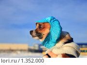 Купить «Портрет собаки породы чихуахуа в шапочке на прогулке зимой», фото № 1352000, снято 1 января 2010 г. (c) Яна Королёва / Фотобанк Лори