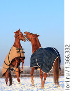 Купить «Две лошади в зимних попонах», фото № 1366332, снято 11 января 2010 г. (c) Яна Королёва / Фотобанк Лори